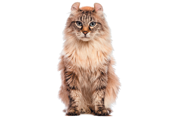 Kattenrassen Kittens Te Koop Onlypets Be