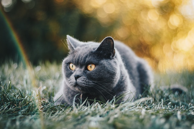 Welp Kattenrassen - Kittens te koop - OnlyPets.be LS-37